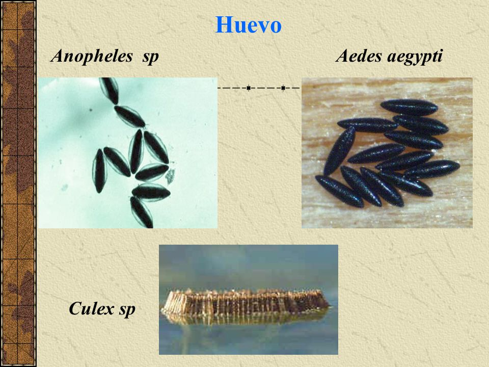 Huevo Anopheles sp Aedes aegypti Culex sp