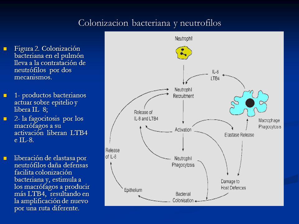 Colonizacion bacteriana y neutrofilos