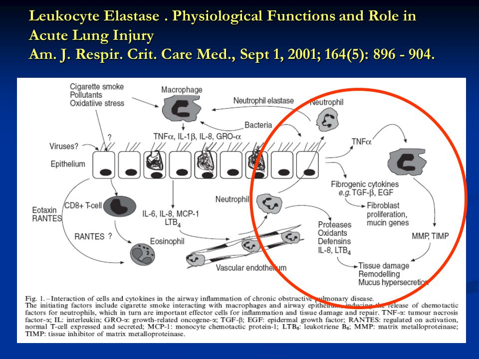 Leukocyte Elastase . Physiological Functions and Role in Acute Lung Injury Am.