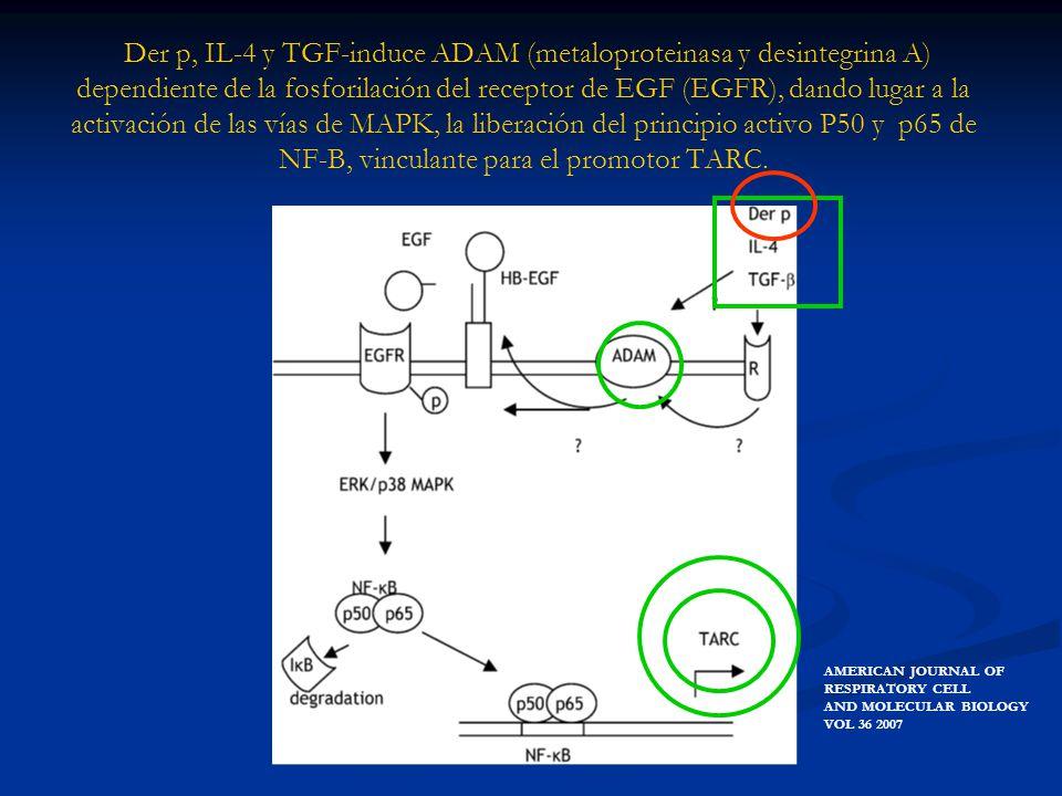 Der p, IL-4 y TGF-induce ADAM (metaloproteinasa y desintegrina A) dependiente de la fosforilación del receptor de EGF (EGFR), dando lugar a la activación de las vías de MAPK, la liberación del principio activo P50 y p65 de NF-B, vinculante para el promotor TARC.