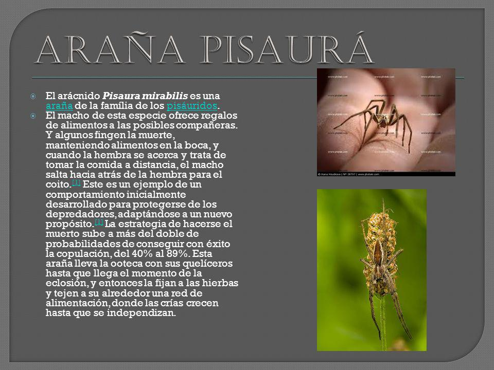 Araña pisaurá El arácnido Pisaura mirabilis es una araña de la família de los pisáuridos.