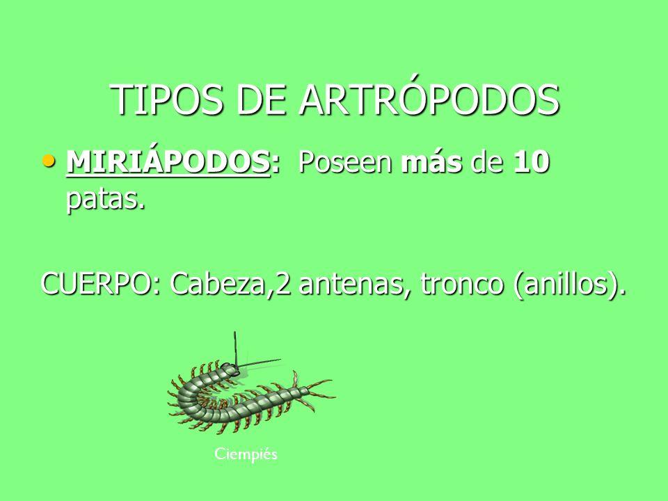 TIPOS DE ARTRÓPODOS MIRIÁPODOS: Poseen más de 10 patas.