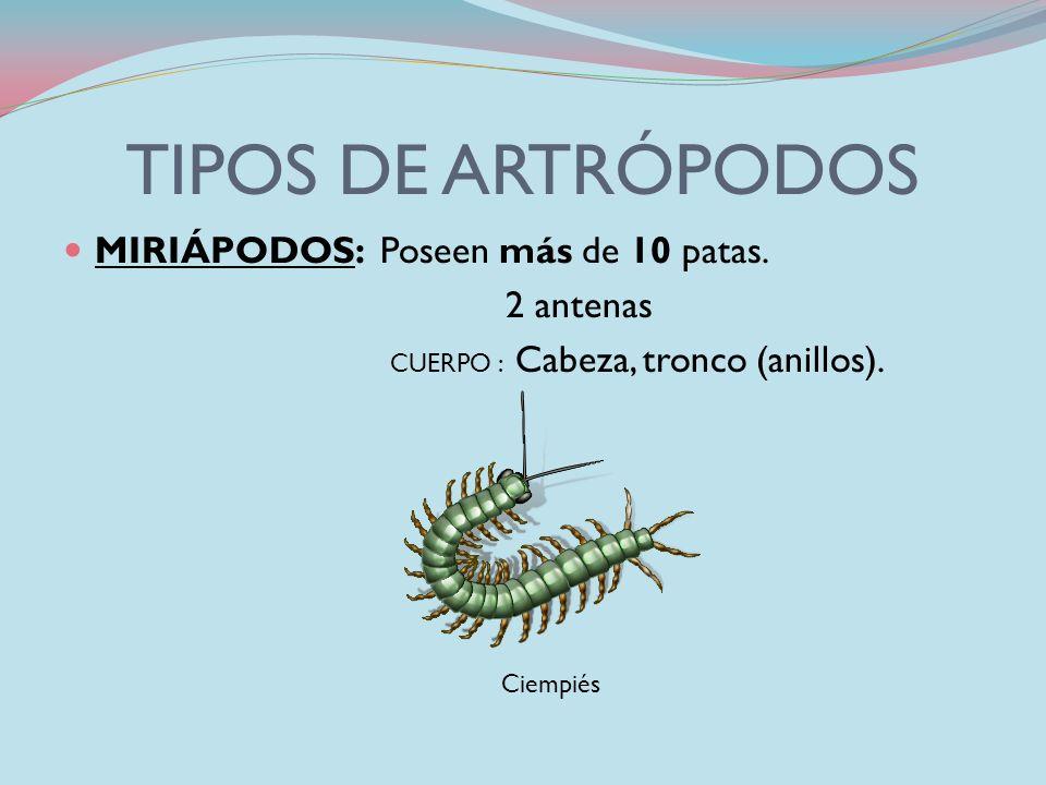 TIPOS DE ARTRÓPODOS MIRIÁPODOS: Poseen más de 10 patas. 2 antenas