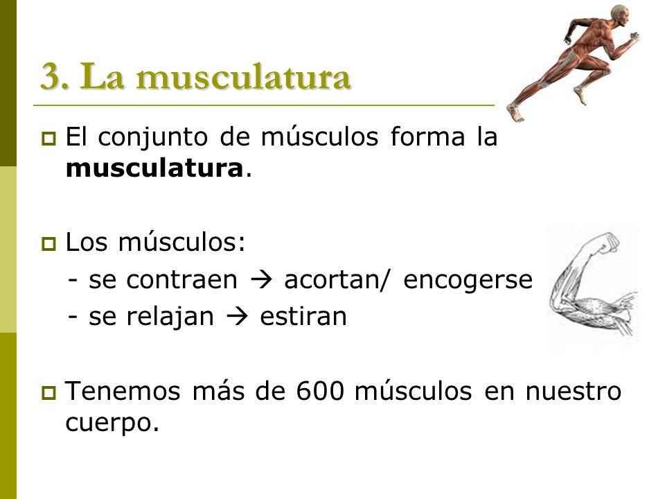 3. La musculatura El conjunto de músculos forma la musculatura.