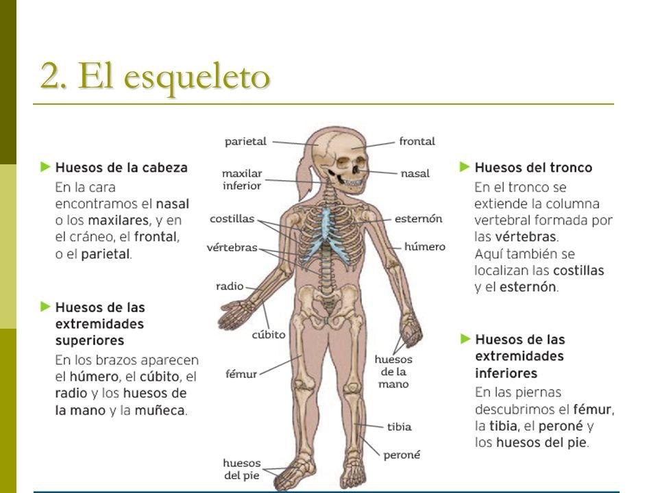2. El esqueleto