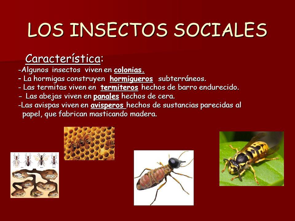 LOS INSECTOS SOCIALES Característica: