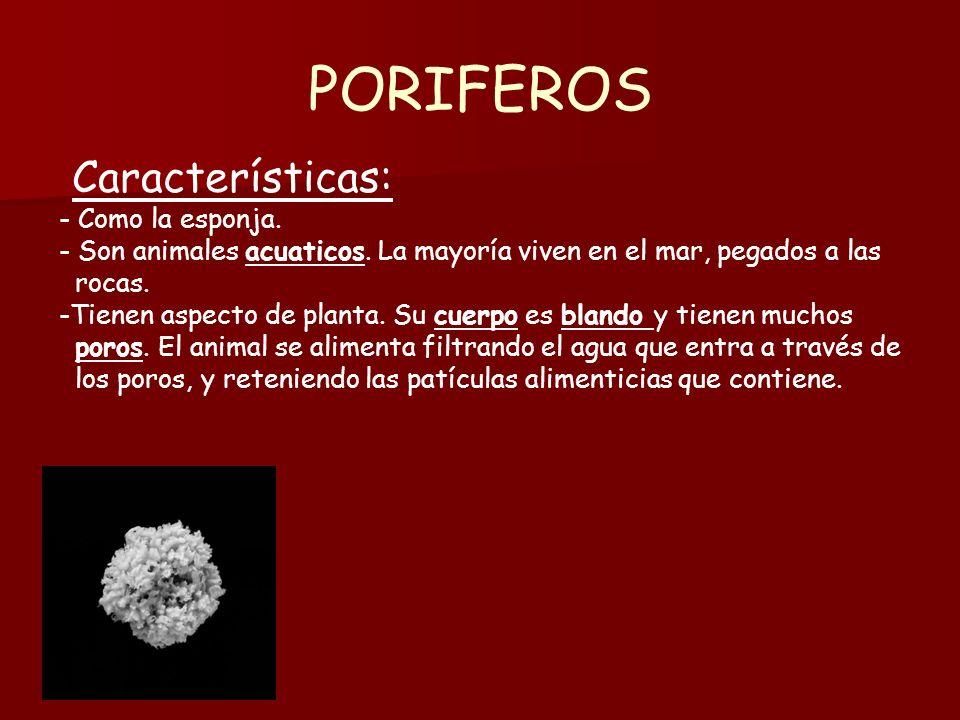 PORIFEROS Características: - Como la esponja.