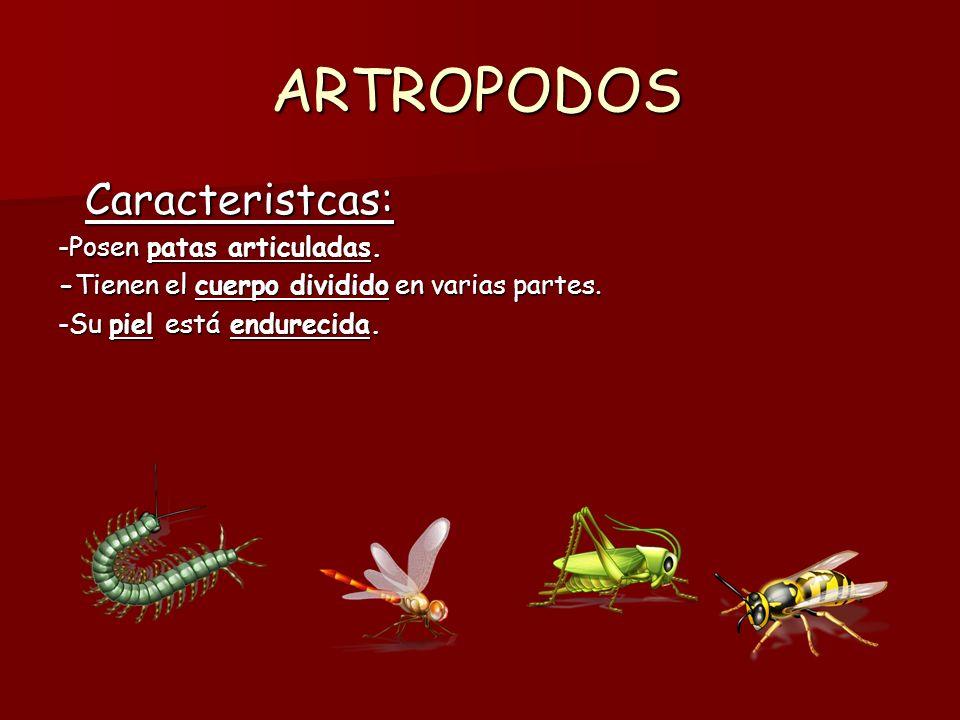 ARTROPODOS Caracteristcas: -Posen patas articuladas.