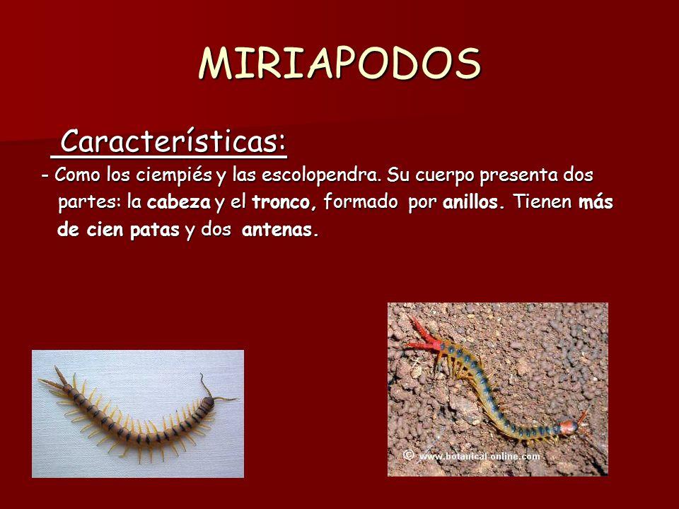 MIRIAPODOS Características: