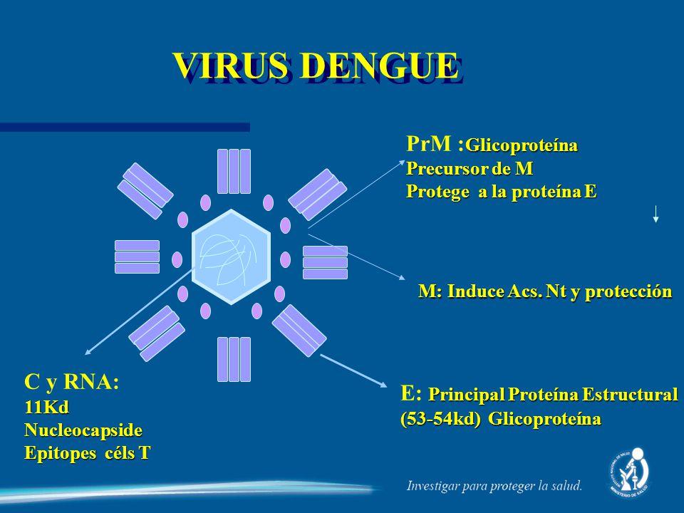 VIRUS DENGUE PrM :Glicoproteína C y RNA: