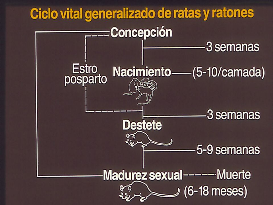 La biologia de ratas y ratones es simple y se asemeja a las etapas de crecimiento de un ser humano.