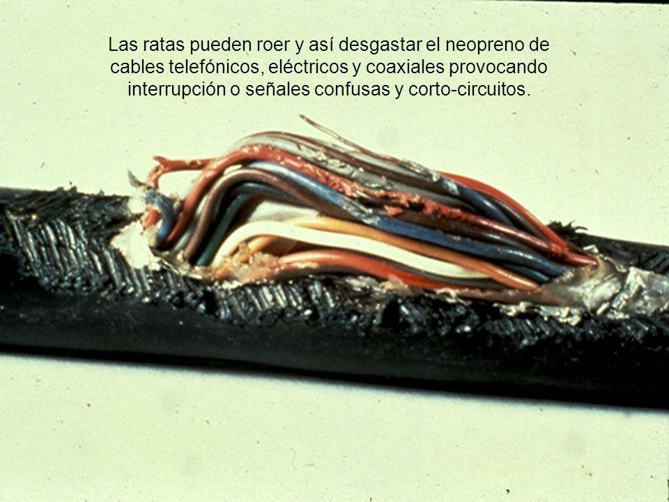 Las ratas pueden roer y así desgastar el neopreno de cables telefónicos, eléctricos y coaxiales provocando interrupción o señales confusas y corto-circuitos.