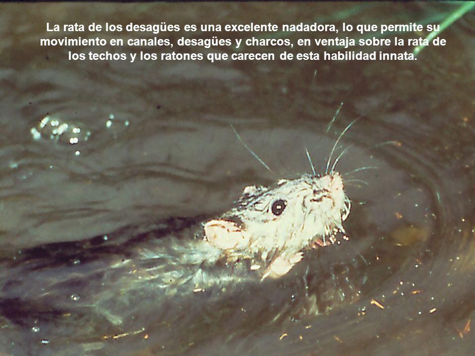 La rata de los desagües es una excelente nadadora, lo que permite su movimiento en canales, desagües y charcos, en ventaja sobre la rata de los techos y los ratones que carecen de esta habilidad innata.
