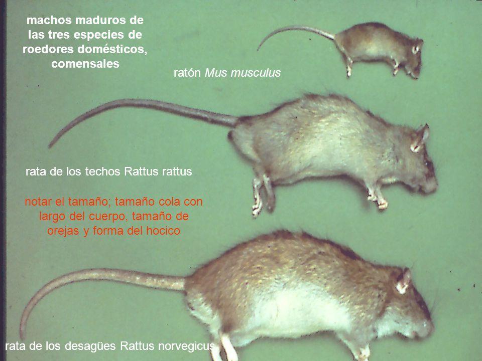 machos maduros de las tres especies de roedores domésticos, comensales