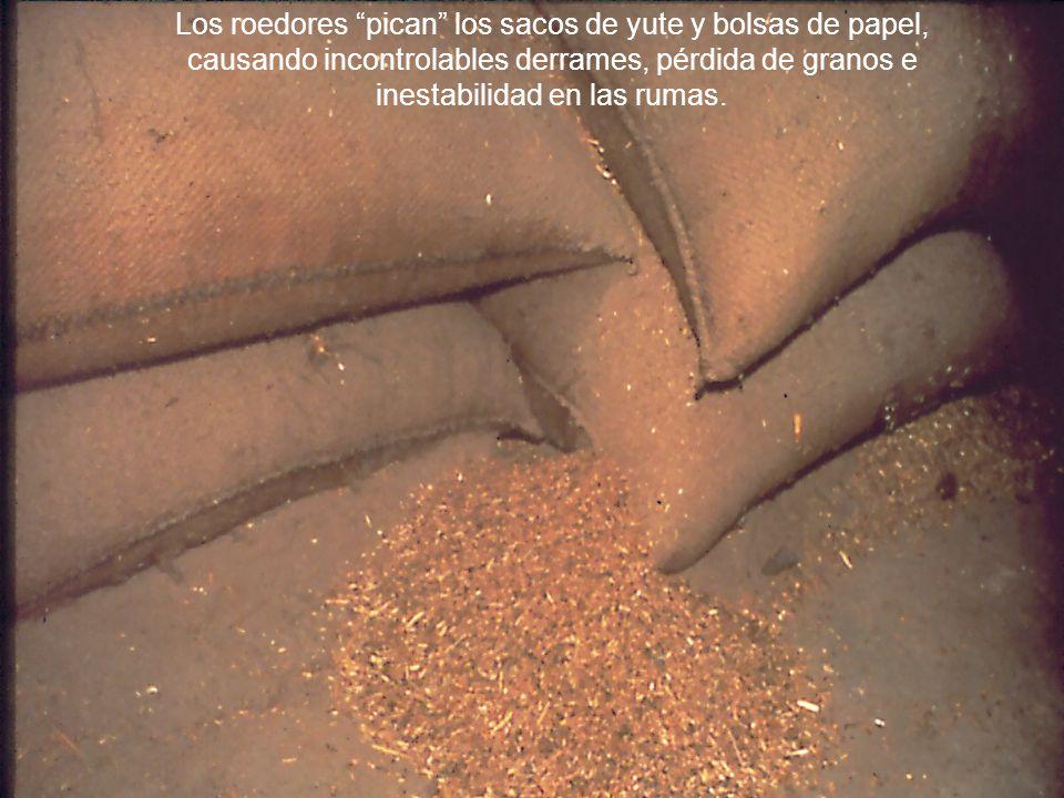 Los roedores pican los sacos de yute y bolsas de papel, causando incontrolables derrames, pérdida de granos e inestabilidad en las rumas.