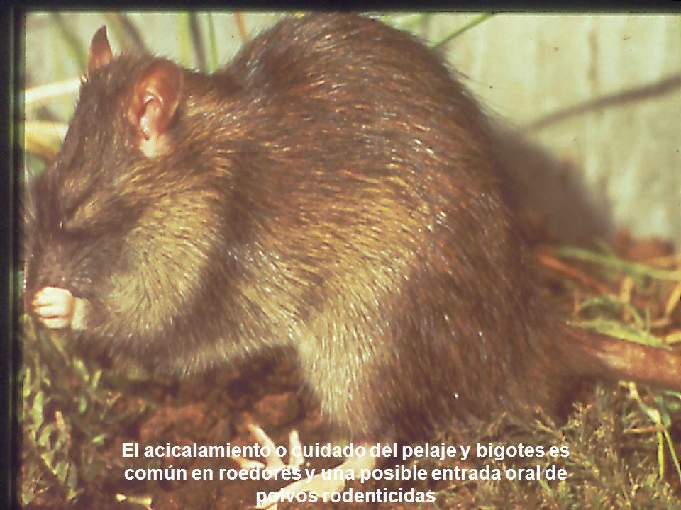 Los roedores se acicalan y se limpian lamiéndose el cuerpo