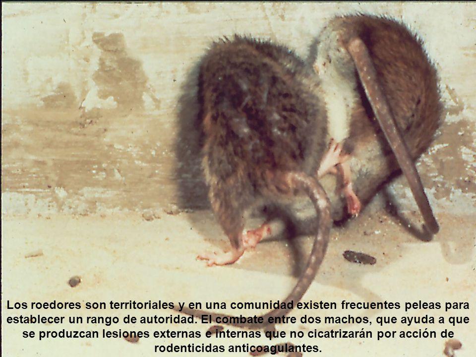 Las peleas que terminan en arañazos, magulladuras y a veces heridas abiertas son frecuentes entre jovenes machos y hembras hasta establecerse socialmente.