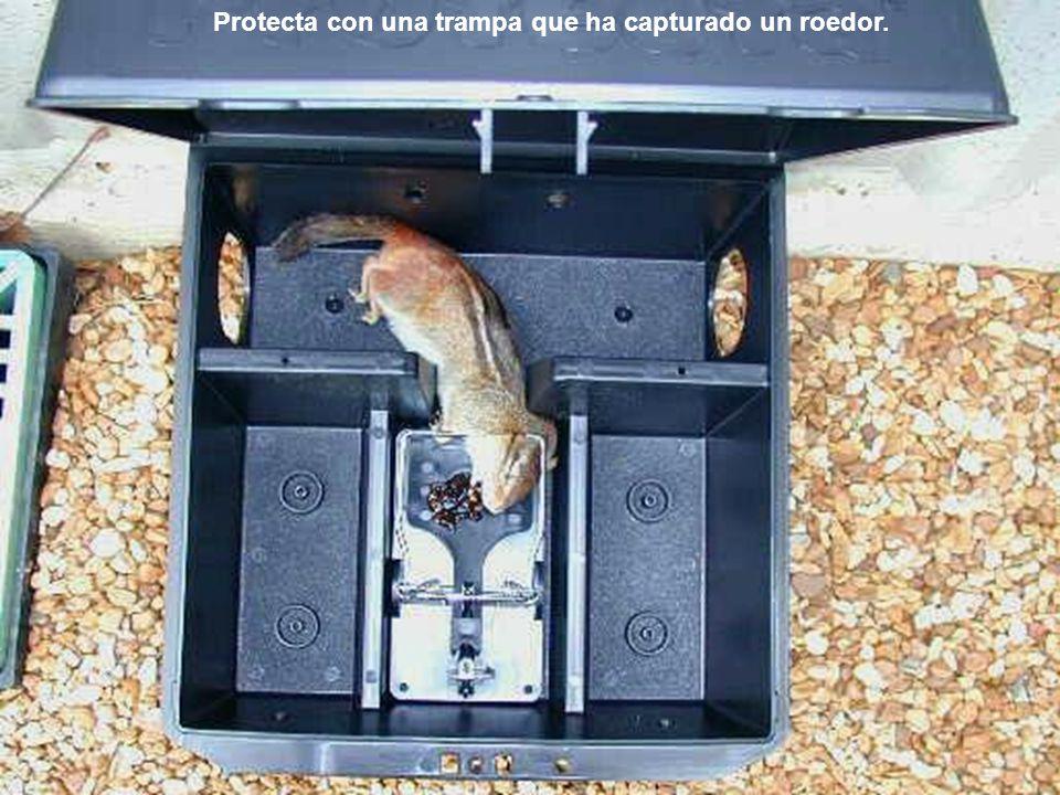 Protecta con una trampa que ha capturado un roedor.