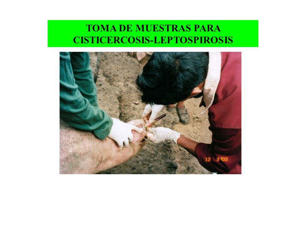 TOMA DE MUESTRAS PARA CISTICERCOSIS-LEPTOSPIROSIS