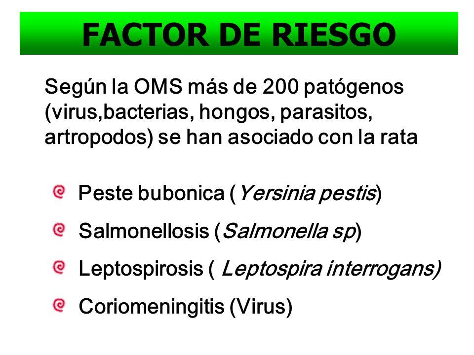 FACTOR DE RIESGO Según la OMS más de 200 patógenos (virus,bacterias, hongos, parasitos, artropodos) se han asociado con la rata.
