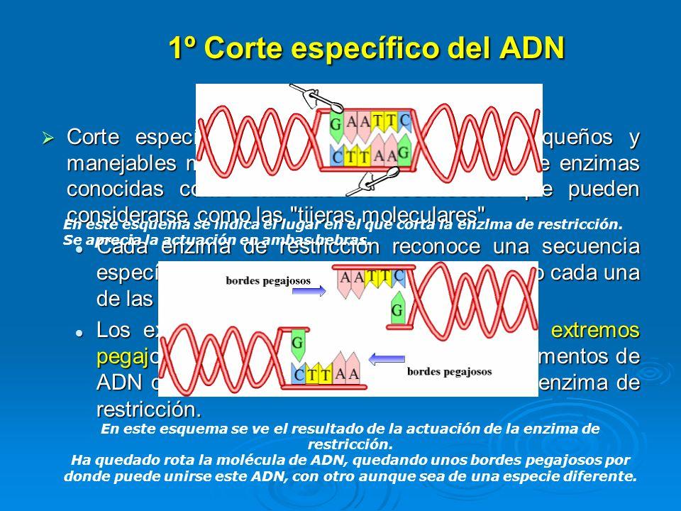 1º Corte específico del ADN