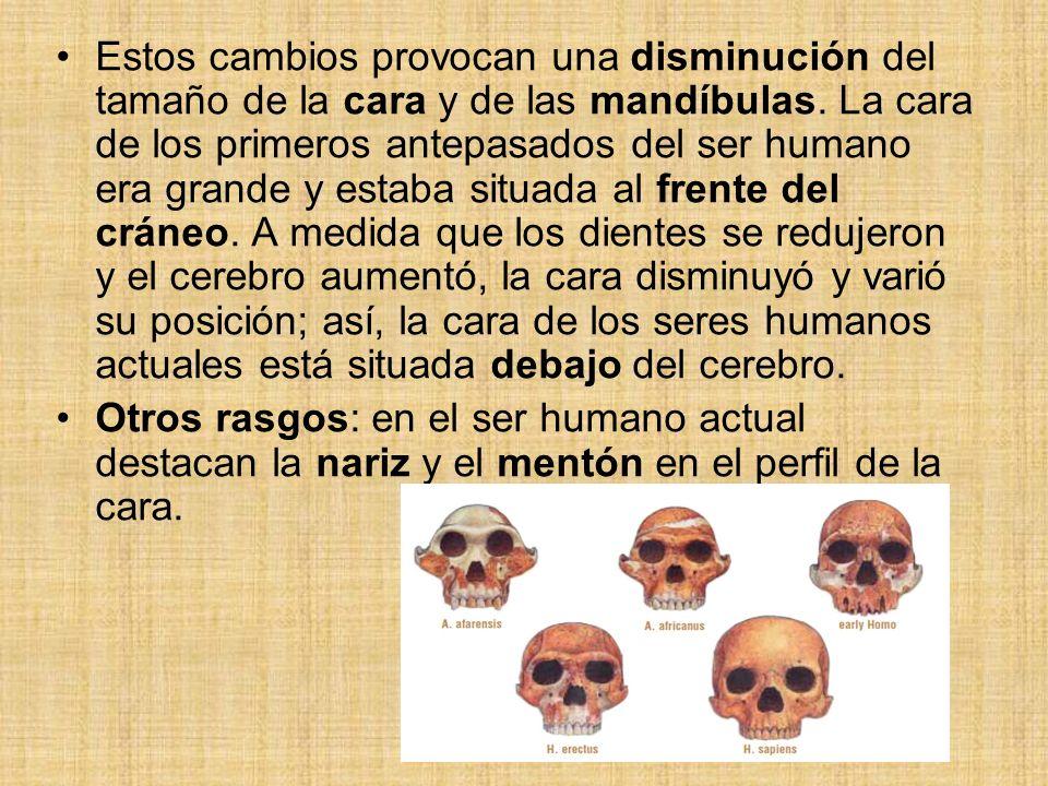 Estos cambios provocan una disminución del tamaño de la cara y de las mandíbulas. La cara de los primeros antepasados del ser humano era grande y estaba situada al frente del cráneo. A medida que los dientes se redujeron y el cerebro aumentó, la cara disminuyó y varió su posición; así, la cara de los seres humanos actuales está situada debajo del cerebro.