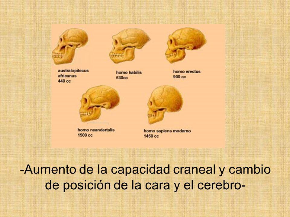 -Aumento de la capacidad craneal y cambio de posición de la cara y el cerebro-