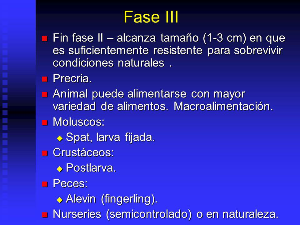 Fase III Fin fase II – alcanza tamaño (1-3 cm) en que es suficientemente resistente para sobrevivir condiciones naturales .