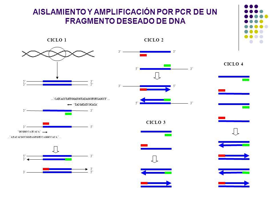 AISLAMIENTO Y AMPLIFICACIÓN POR PCR DE UN FRAGMENTO DESEADO DE DNA