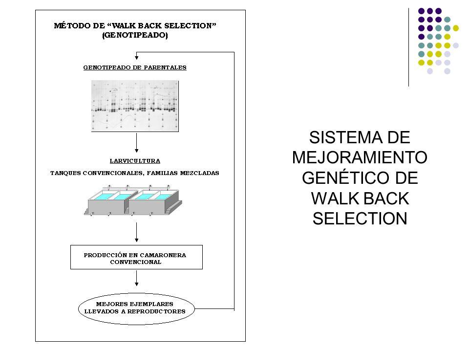 SISTEMA DE MEJORAMIENTO GENÉTICO DE WALK BACK SELECTION