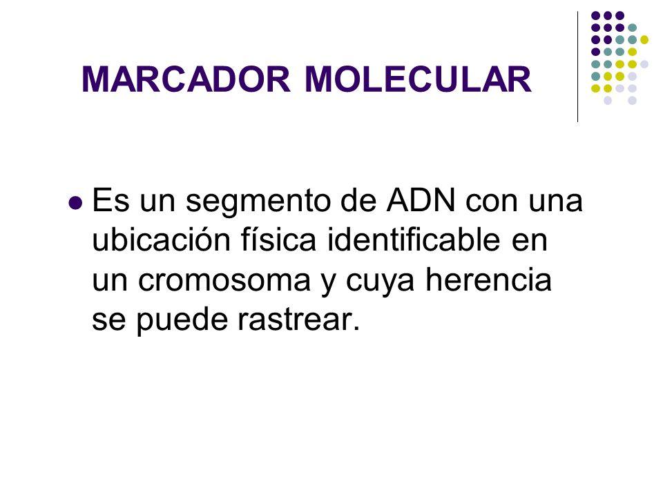 MARCADOR MOLECULAR Es un segmento de ADN con una ubicación física identificable en un cromosoma y cuya herencia se puede rastrear.