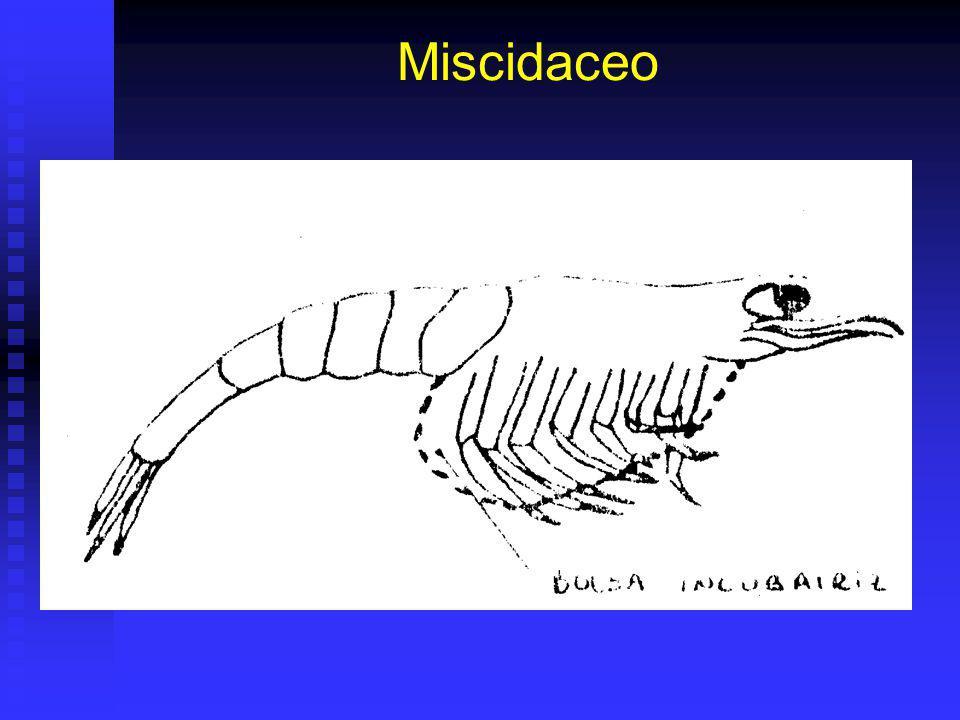 Miscidaceo