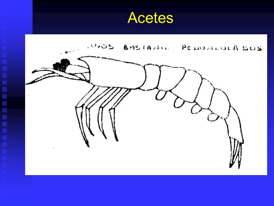 Acetes