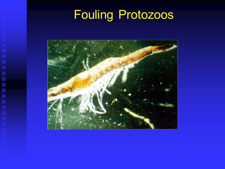 Fouling Protozoos