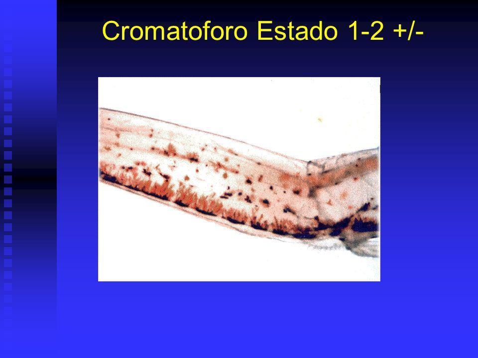 Cromatoforo Estado 1-2 +/-