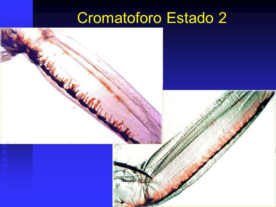 Cromatoforo Estado 2