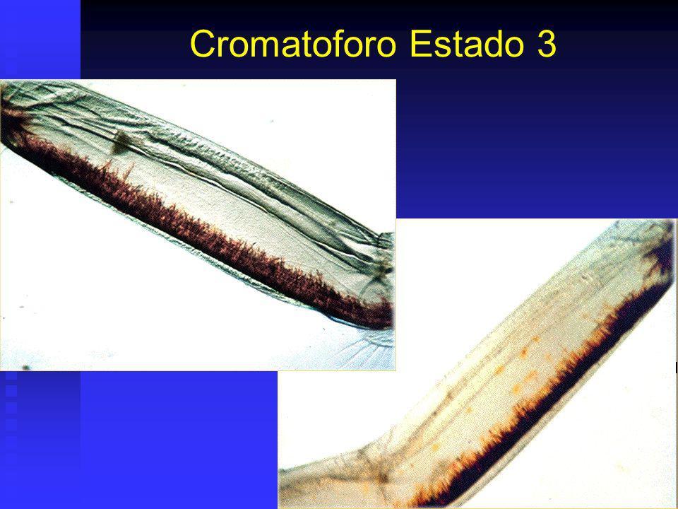 Cromatoforo Estado 3