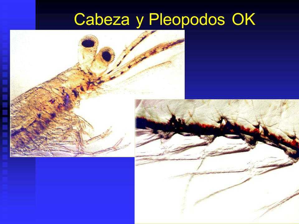 Cabeza y Pleopodos OK