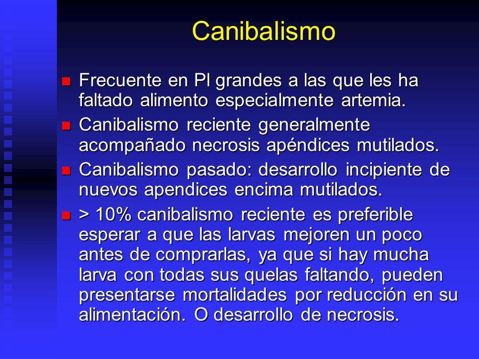 Canibalismo Frecuente en Pl grandes a las que les ha faltado alimento especialmente artemia.