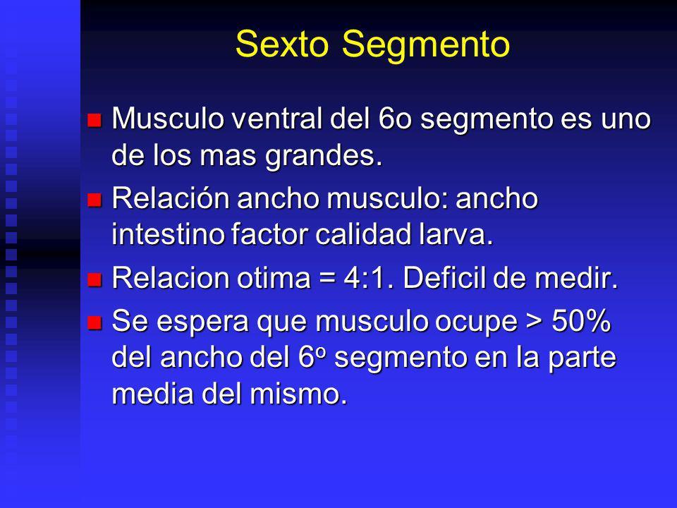 Sexto Segmento Musculo ventral del 6o segmento es uno de los mas grandes. Relación ancho musculo: ancho intestino factor calidad larva.
