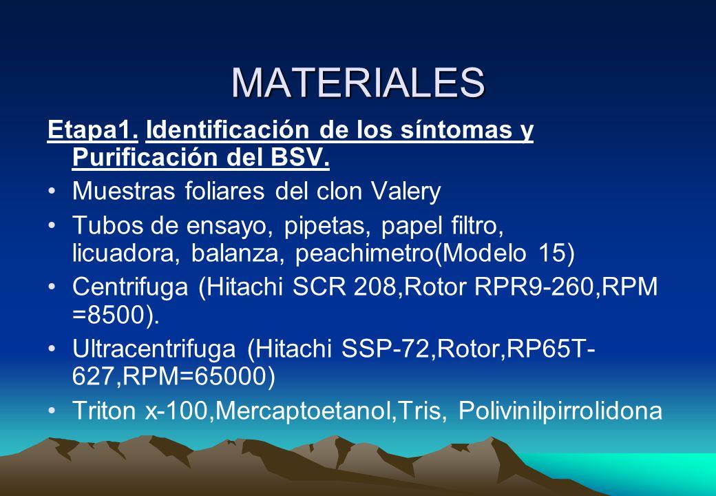 MATERIALES Etapa1. Identificación de los síntomas y Purificación del BSV. Muestras foliares del clon Valery.