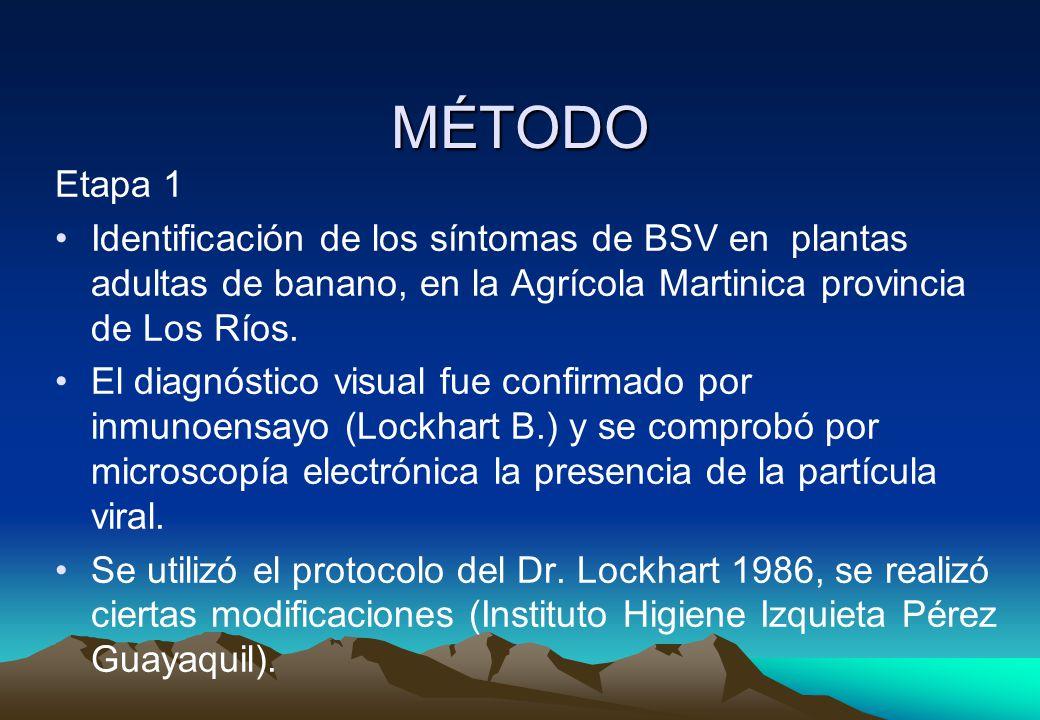 MÉTODO Etapa 1. Identificación de los síntomas de BSV en plantas adultas de banano, en la Agrícola Martinica provincia de Los Ríos.
