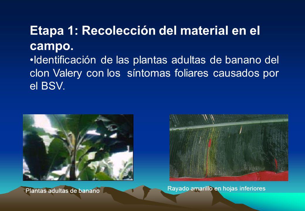 Etapa 1: Recolección del material en el campo.