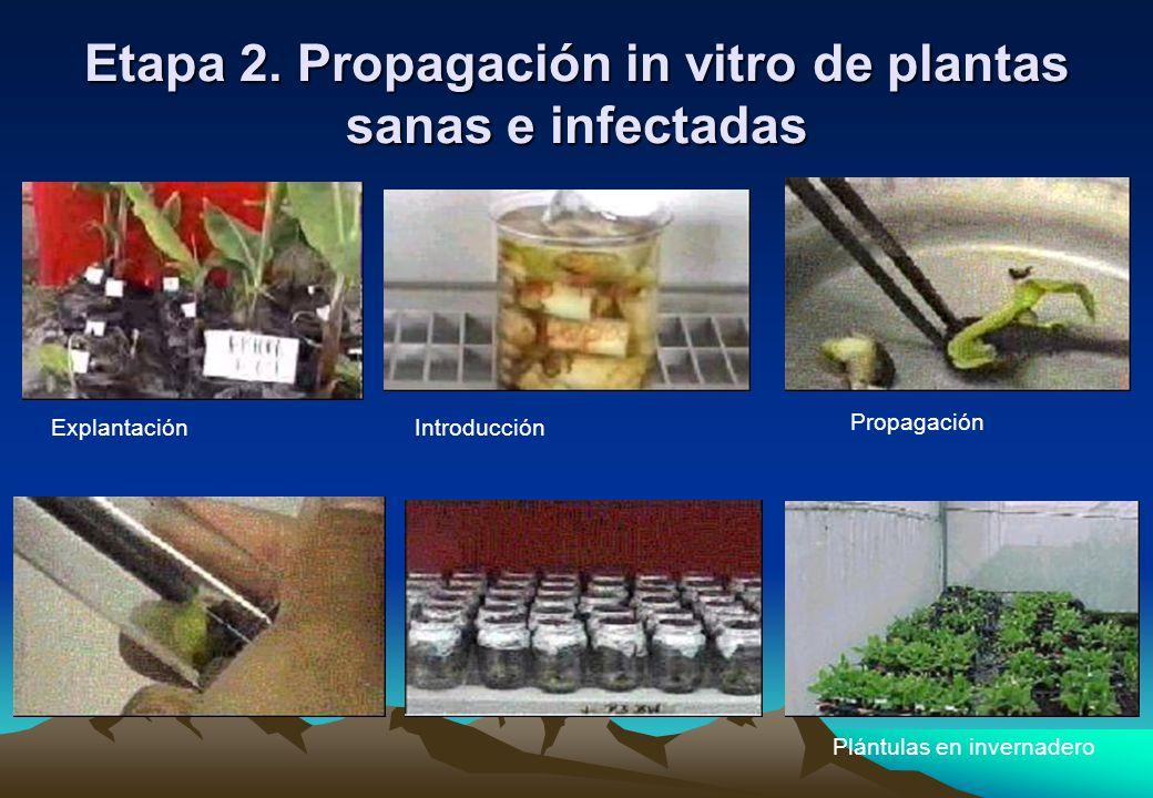 Etapa 2. Propagación in vitro de plantas sanas e infectadas