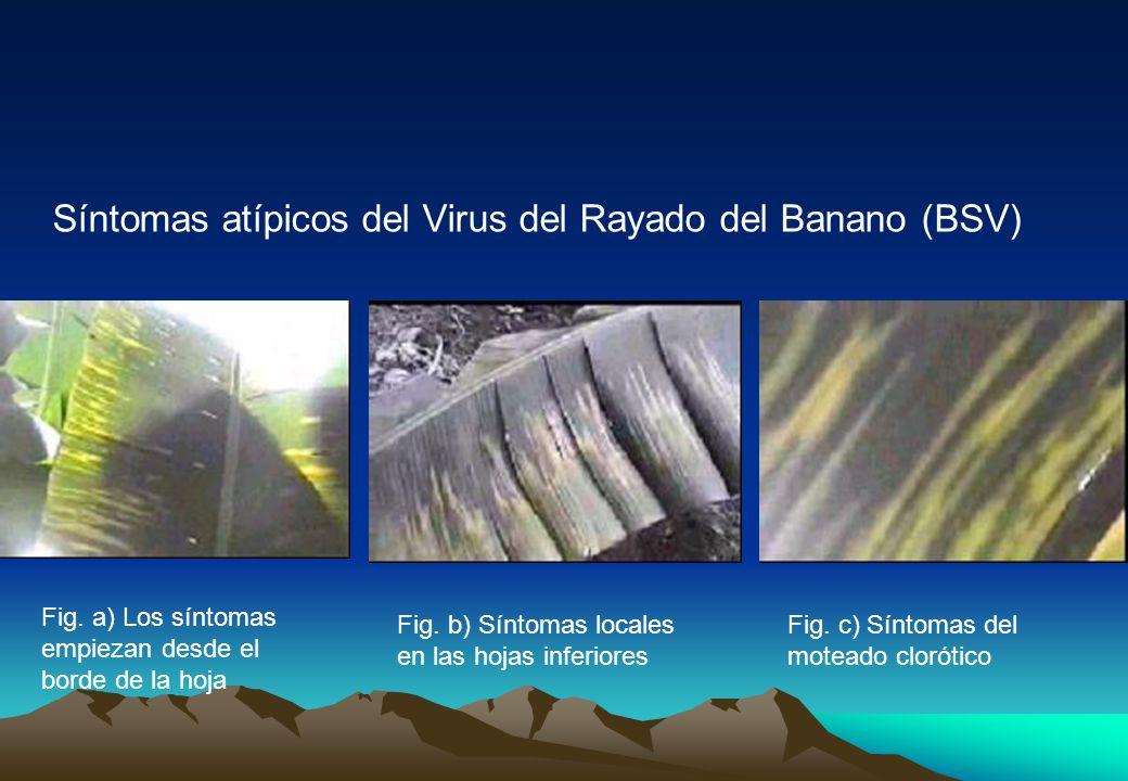 Síntomas atípicos del Virus del Rayado del Banano (BSV)