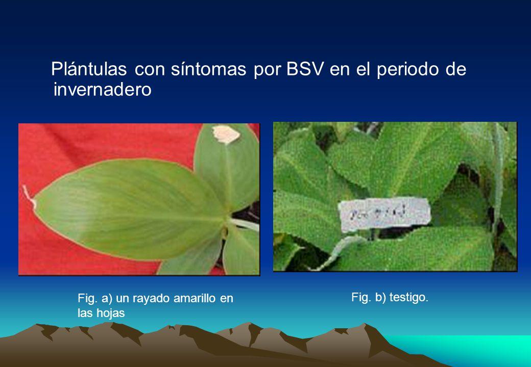 Plántulas con síntomas por BSV en el periodo de invernadero