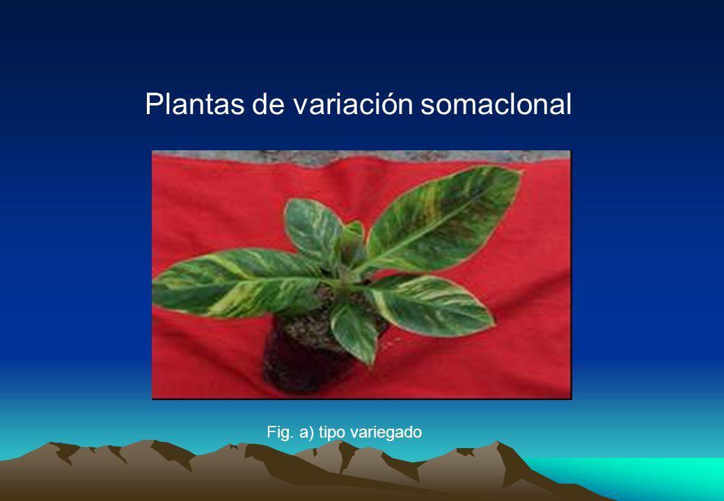 Plantas de variación somaclonal