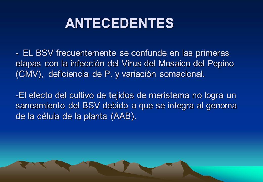 ANTECEDENTES - EL BSV frecuentemente se confunde en las primeras etapas con la infección del Virus del Mosaico del Pepino (CMV), deficiencia de P.