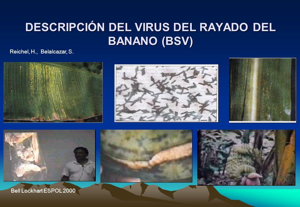 DESCRIPCIÓN DEL VIRUS DEL RAYADO DEL BANANO (BSV)