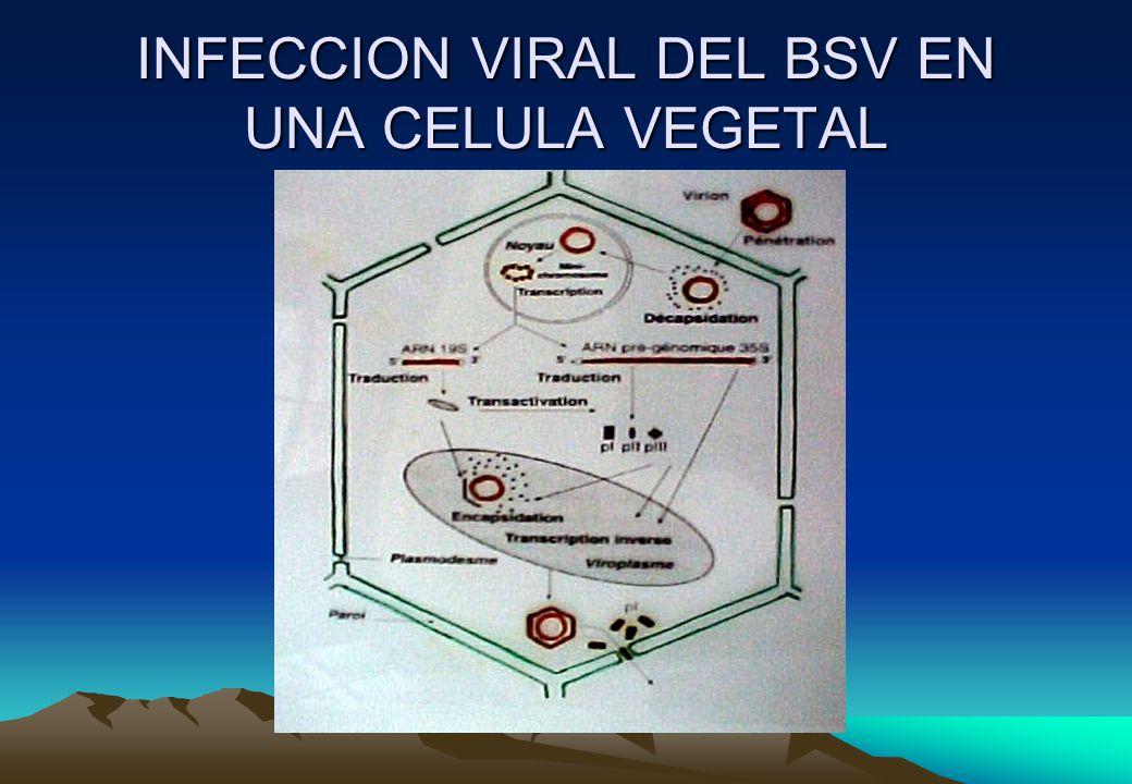 INFECCION VIRAL DEL BSV EN UNA CELULA VEGETAL